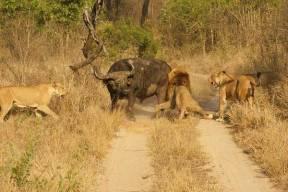 buffalo-lion-sabi-sabi